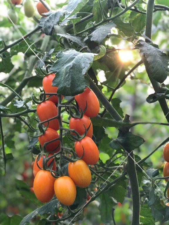 高雄美濃美食。福田溫室果園。橙蜜香小蕃茄頂級哈密瓜宅配。榮獲2020年美濃區橙蜜香番茄品質比賽優勝獎。高雄型農大聯盟。 @Miss 飛妮