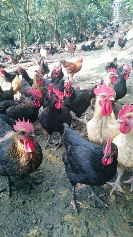 高雄美食品味生活。高雄美濃人字山雞場。堅持飼養120天才銷售的雞。滴雞精。老蘿蔔。番茄。白玉蘿蔔[Miss飛妮] @Miss 飛妮