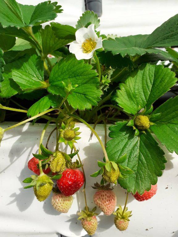 新竹關西採草莓.草莓季11月~隔年4月。新鮮草莓食譜:用鬆餅粉做草莓舒芙蕾厚鬆餅[Miss飛妮] @Miss 飛妮